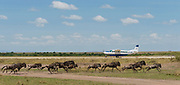 Wildebeests running along the local air strip in Maasai Mara, Kenya.