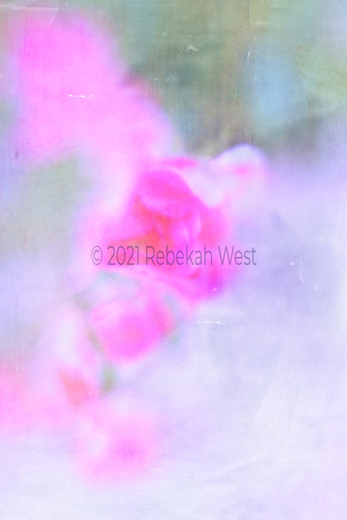 Pastel hot pink antique rose climbing smeared up left side of vertical field, background soft blue green patina along upper third, bottom two thirds white soft grey blue, main flower sits slightly higher than center and slightly on left side, flower art, feminine, iridescent, high resolution, licensing, 3352 x 5027