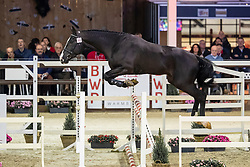 100, Dobro<br /> Hengstenkeuring BWP - Lier 2019<br /> © Hippo Foto - Dirk Caremans<br /> 18/01/2019
