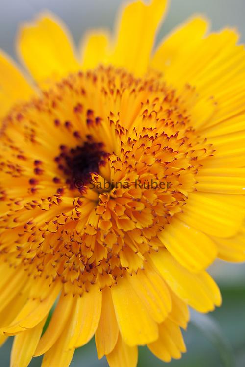 Calendula officinalis 'Kablouna Intense Yellow' - pot marigold