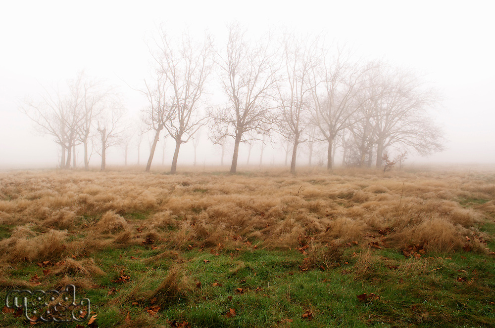 Bare trees and field on foggy day