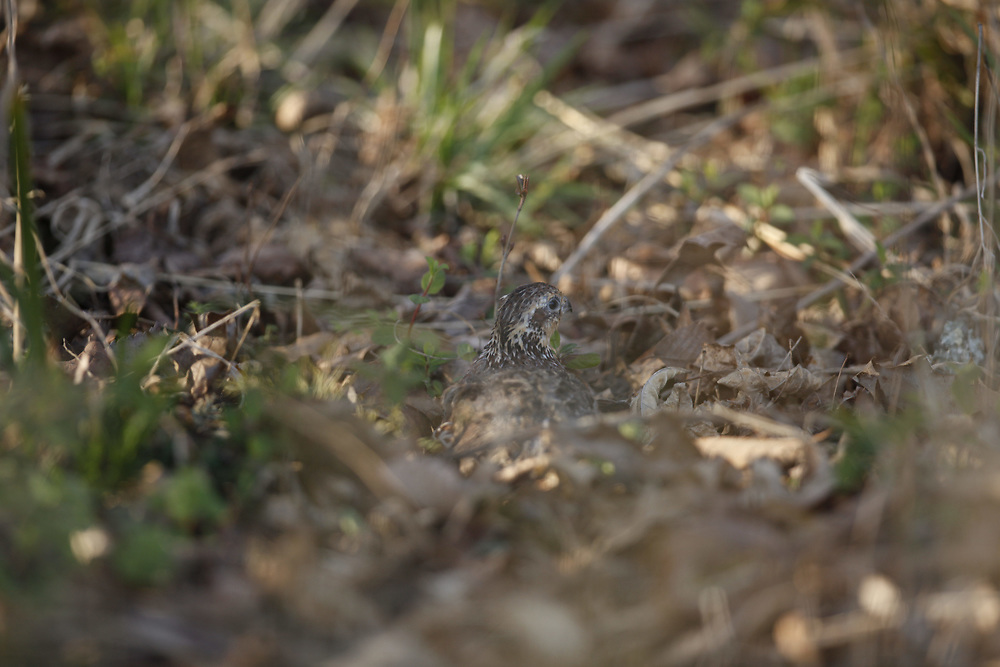 Quail hiding in thick cover.