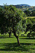Pferde in einem Obsthain bei Alterswil (FR). Chevaux dans verger près de Alterswil (FR). Horses in an orchard near Alterswil. © Romano P. Riedo