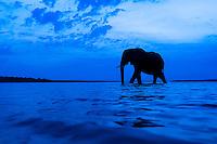 African elephant bull crossing the Chobe River after sunset, Chobe River, Kasane, Botswana.