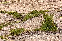 Grasses and plants grow between the cracks in the rock at Enchanted Rock State Natural Area.  Texas.