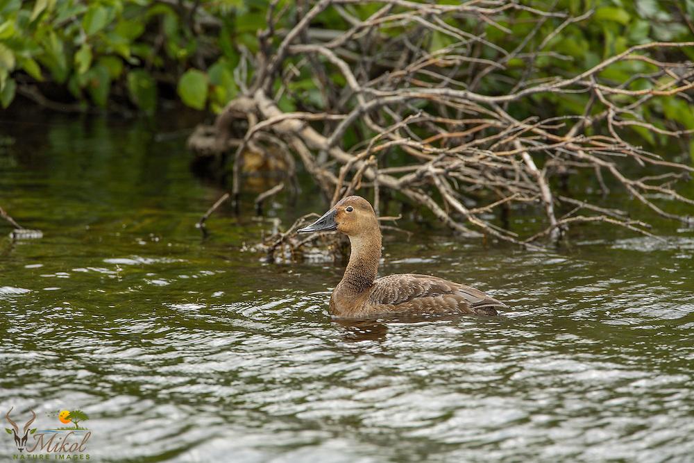 Canvasback Female duck