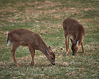 Young Backyard Deer. Image taken with a Nikon Df camera and 300 mm f/4 lens (ISO 200, 300 mm, f/4, 1/320 sec).