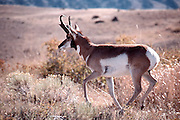 THIS PHOTO IS AVAILABLE FOR WEB DOWNLOAD ONLY. PLEASE CONTACT US FOR A LARGER PHOTO. Pronghorn runs through desert sagebrush.