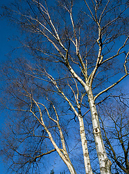 The silver bark of Betula utilis var. jacquemontii against a blue sky in winter - Silver birch