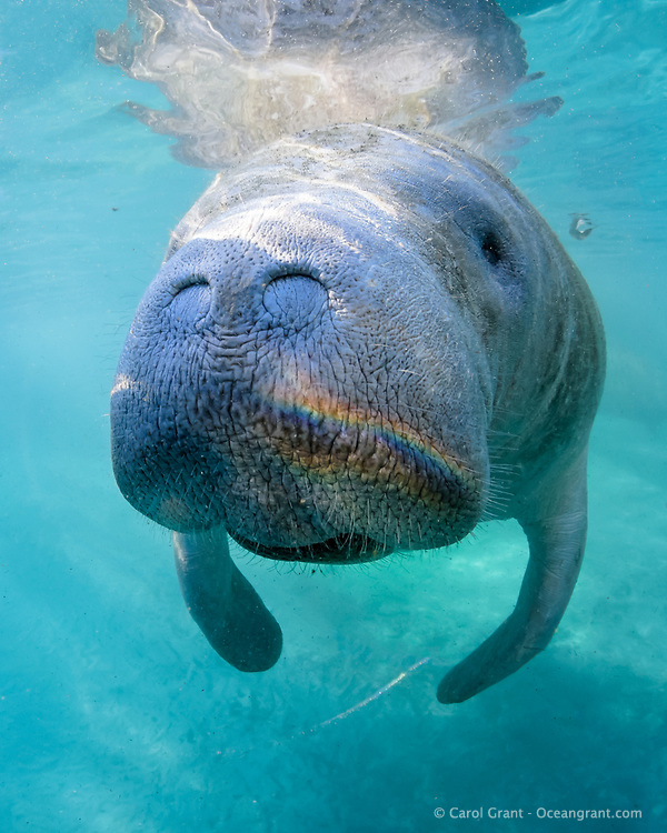 Manatees love Florida sunshine! This is evidenced by the bright rainbow light on its snout. Manatees inhabit shallow waters all along Florida's costal and intracostal waterways. Being very curious creatures they investigate their environment often while floating. This is a peek at an undisturbed, natural behavior while this manatee winters in the freshwater springs. Florida manatee, Trichechus manatus latirostris, a subspecies of the West Indian manatee, endangered. Three Sisters Springs, Crystal River National Wildlife Refuge, Kings Bay, Crystal River, Citrus County, Florida USA. IUCN Red List: Endangered. USFWS implemented downlisting to Threatened 2017: http://www.iucnredlist.org/details/22106/0. Taken under USFWS SUP Permit