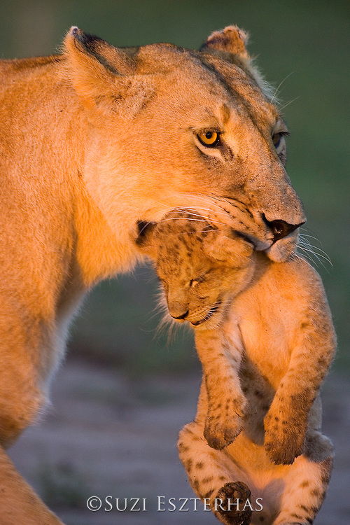 Lion<br /> Panthera leo<br /> Mother carrying 5-6 week old cub<br /> Masai Mara Reserve, Kenya