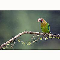 Brown-hooded Parrot (Pyrilia haematotis) perched on branch near Boca Tapada, Costa Rica, January, 2014.