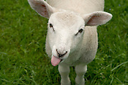 close up of a lamb with tong sticking out