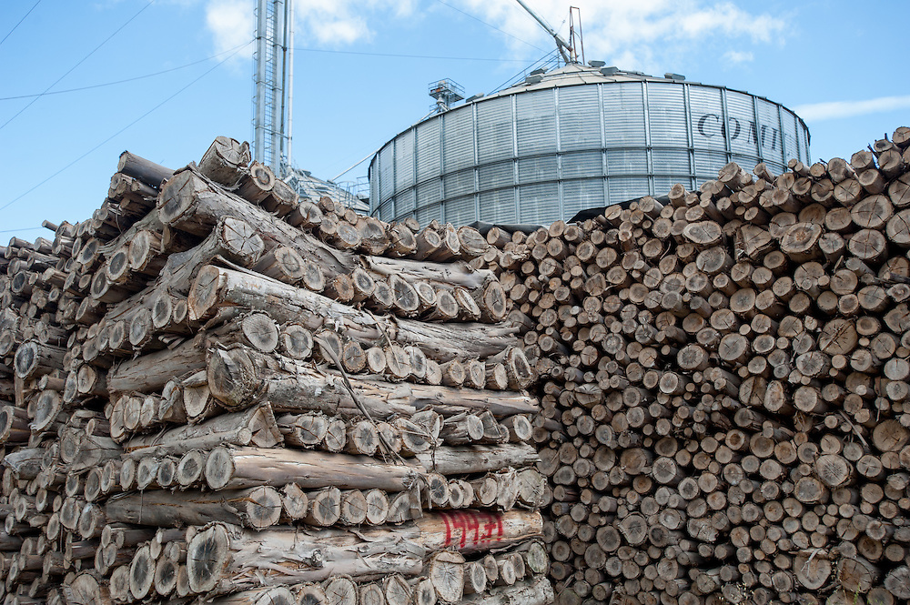 Canola oil (rapeseed) production with Eucalyptus wood pile