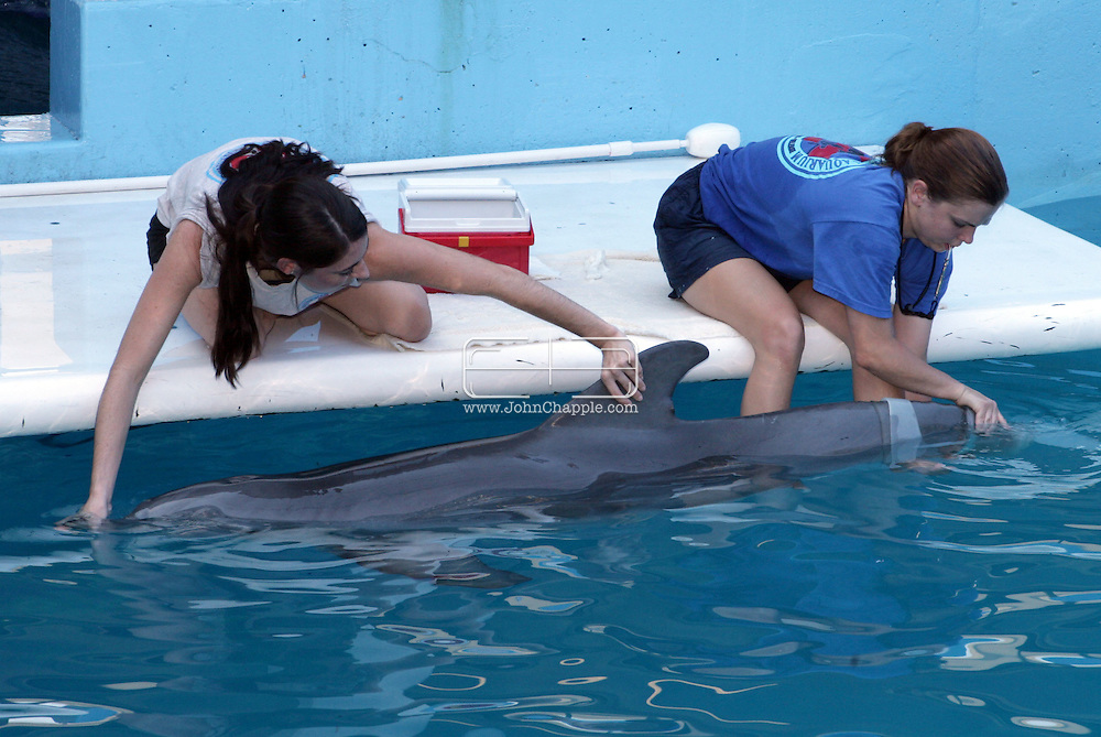 23rd October 2007. Clearwater, Florida. 'Flipper's Fishy Tale'. A major US prosthetic limb manufacturer has come to the aid of a dolphin in need. Prosthetic experts, Hanger Orthopedic Group, who normally tackle the toughest human amputation cases offered to make a tail for 'Winter', an Atlantic Bottlenose Dolphin. Two years ago, the Clearwater Marine Aquarium rescued Winter, after she became tangled in a crab trap. She was dehydrated and near death and the trap line had cut off circulation to her tail. The veterinarians had to amputate. The aquarium is now teaching Winter how to use her new tail, which has to be updated as the young dolphin grows. PHOTO © JOHN CHAPPLE / REBEL IMAGES.Tel: 310 570 9100..