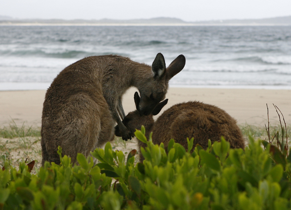 A mother kangaroo with it's baby , known as a Joey , at Diamond Head in the Crowdy Bay National Park , near Lauriton , NSW , Australia.
