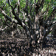 Mangrove tree colony at low tide, Sunday Island, the Kimberly, Australia. Photo by Jen Klewitz