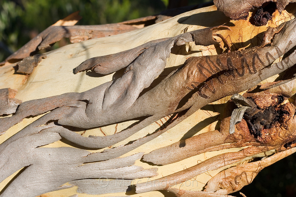 Peeling bark of a Eucalyptus tree, , Royal National Park, Sydney, Australia