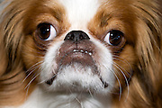 little dog bulling a funny face