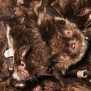 Since 2007 bachelor groups of Myotis daubentonii have been found in boxes e63 and e62 on 8 occasions... Thanks to ringing these bats we know there have been 89 encounters with 54 individuals in these two boxes... we also know these same bats have been found in 25 other boxes on 29 occasions ...where they have been found with 247 other individual bats during 380 captures, including visits to females from at least two maternity colonies. Oxford Mammal Group.