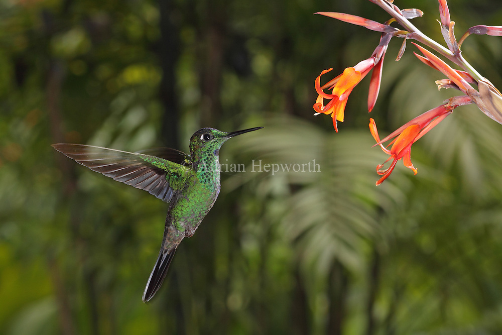 Green-crowned Brilliant; Green crowned Brilliant (Heliodoxa jacula) hovering at flower. Montane rainforest near Poas Volcano, Costa Rica. <br />
