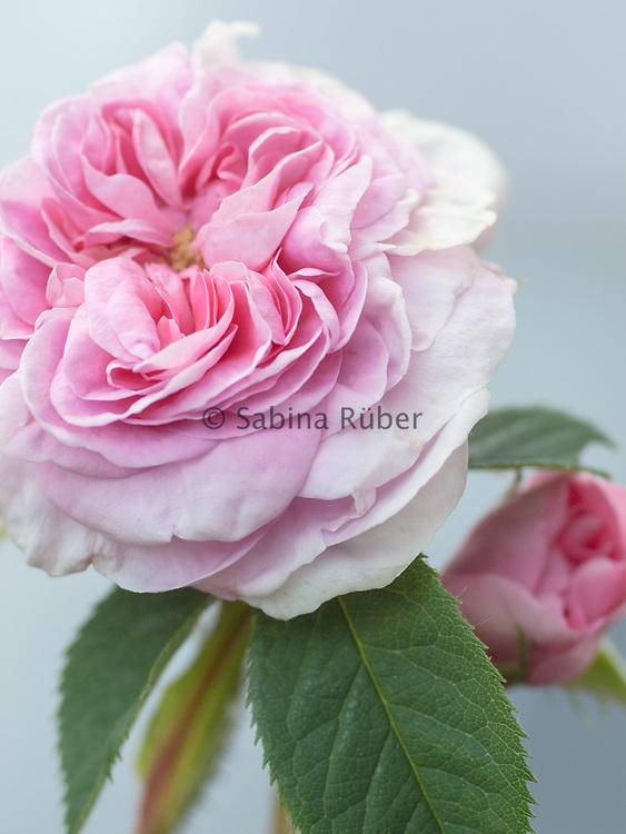 Rosa 'Königin von Dänemark'  - shrub rose