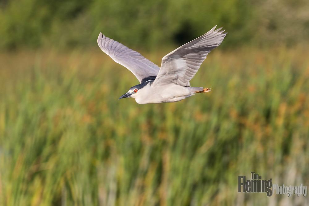 Black-crowned night-heron flying over marsh in Petaluma, California