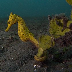 Yellow seahorse holding on some seagrass