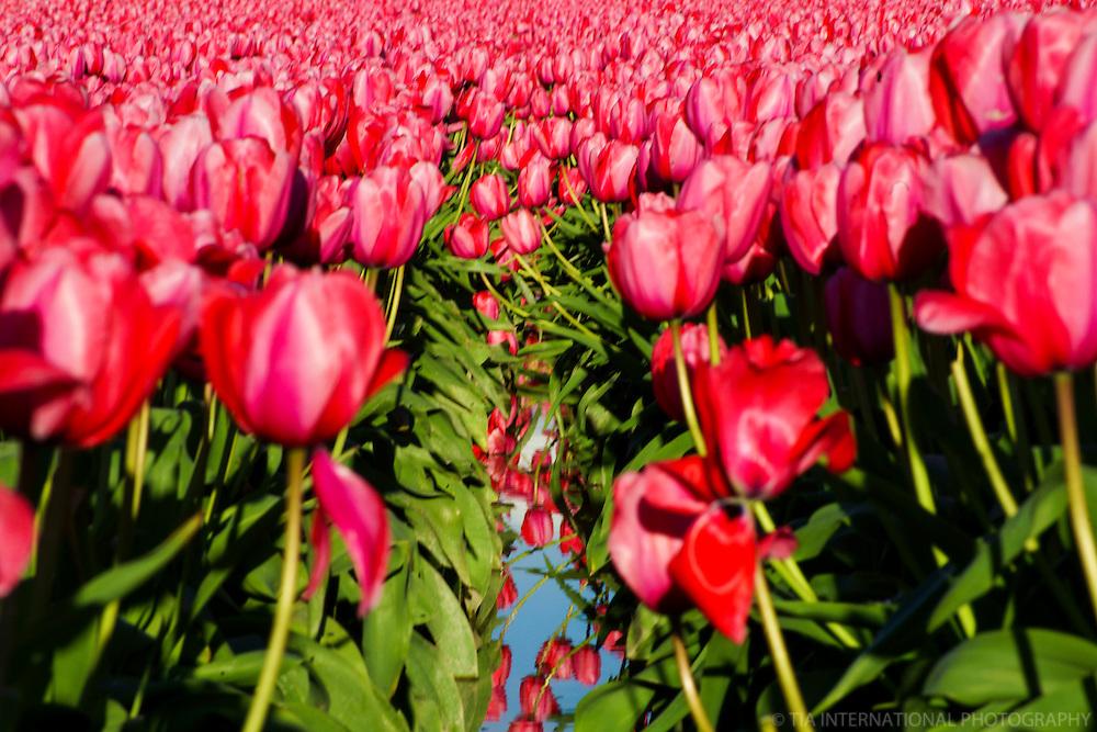 Skagit County Tulip Festival 2013