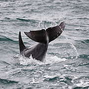 Indo-pacific bottlenose dolphin (Tursiops aduncus) executing a tail slap while socializing with other dolphins on an overcast day.