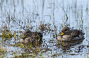 Pair of Yellow-billed Teal (Anas flavirostris) from Sea Lion island, the Falklands