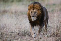 A dominant male lion (Panthera leo), Masai Mara, Kenya