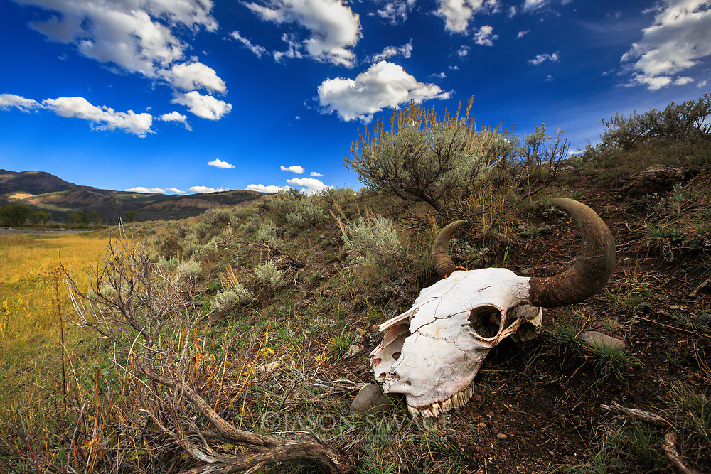 Bison Skull in Yellowstone's northern range.