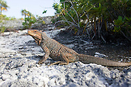 Endangered Bahaman Rock Iguana under sunlight.
