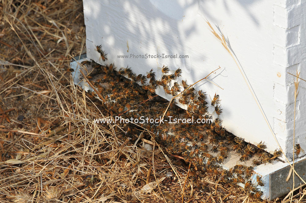worker bees at the entrance to a beehive