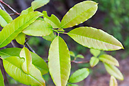 Sourwood or sorrel tree (Oxydendrum arboreum)<br /> United States: Alabama: Tuscaloosa Co.<br /> Tulip Tree Springs off Echola Rd.; Elrod<br /> 26-Apr-2017<br /> J.C. Abbott