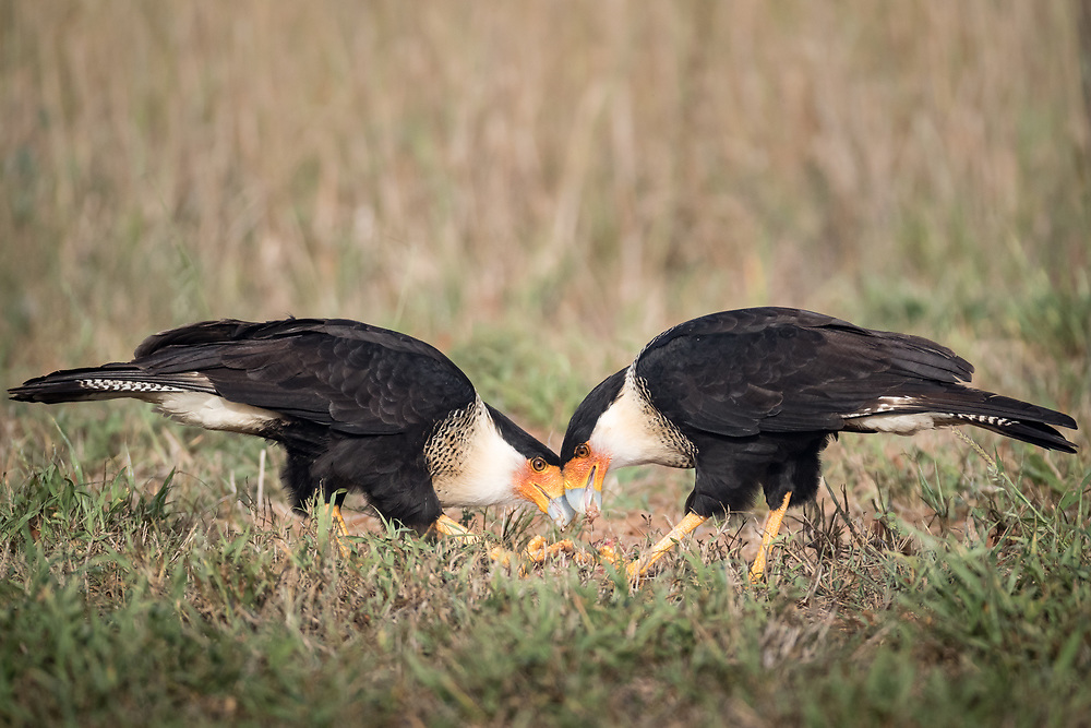 Caracara cheriway, south Texas