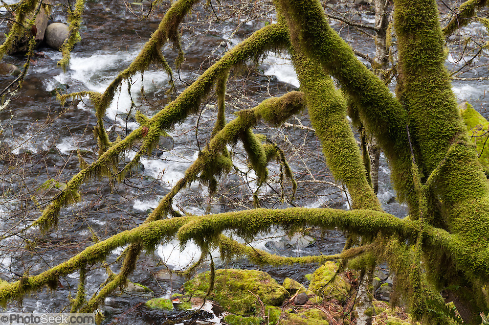 Moss covers trees limbs along Tanner Creek, on the trail to Wahclella Falls, Columbia River Gorge National Scenic Area, Oregon, USA.