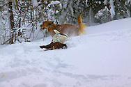 Dogs playing in snow, golden and basset