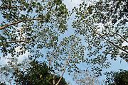 Low angle view of forest canopy. Pacheca Island, Las Perlas archipelago, Panama, Central America.