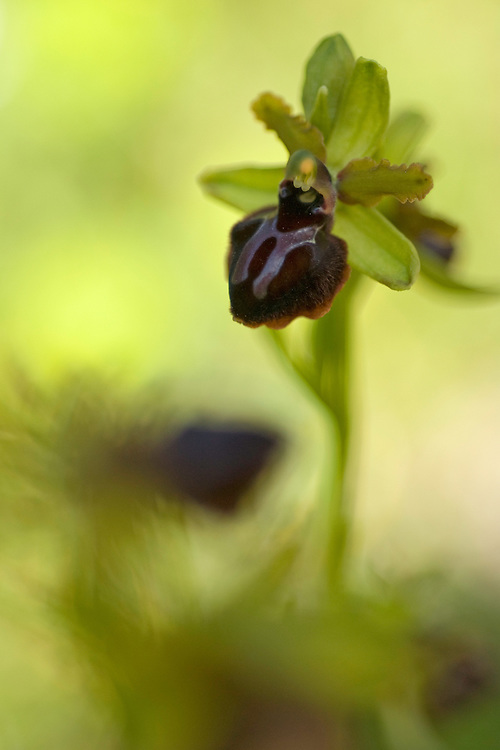 Apulia; Gargano National Park; Gargano Ophrys; Gargano Peninsula; Italy; Ophrys garganica
