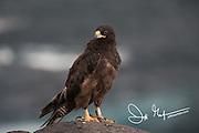 A Galapagos hawk perches on a cliff on Española island in the Galapagos archipelago of Ecuador.