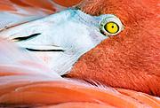 Flamingo close-up, Florida, USA.
