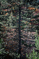 Greece, Pindos Mountains, Pindos NP, Valia Calda, pine tree