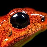 Costa Rica, La Fortuna, Strawberry Poison-dart Frog (Oendrobates pumilio) in captivity