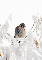 Vertical Image of an American kestrel sits in a frosted tree in Box Elder county northern Utah. Inversions in the valleys catch and hold cold air and pollution that helps frost the trees December 2016.