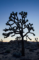 Silhouette of Joshua Tree (Yucca brevifolia), Joshua Tree National Park
