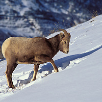 Bighorn sheep. Glacier National park montana.