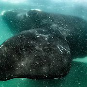 Close-up view underwater of the distinct form of a southern right whale's pectoral fin. Photographed with the permission of the Department of Environmental Affairs, South Africa.