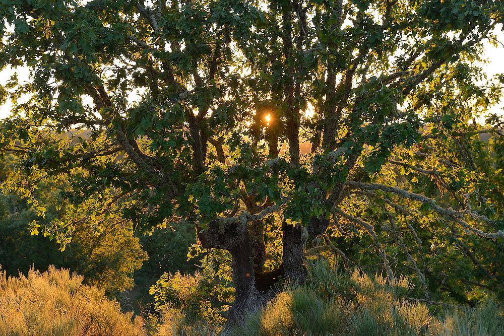 Dehesa landscape Pyrenean oaks, Quercus pyrenaica, in the CAMPANARIOS DE AZÁBA RESERVE, SALAMANCA PROVINCE, CASTILLA Y LEÓN, SPAIN, in the Western Iberia rewilding area